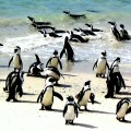 Penguins In SouthAfrica