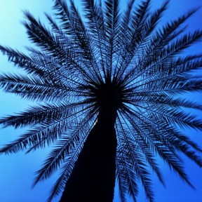 Palm tree in Placa Reial
